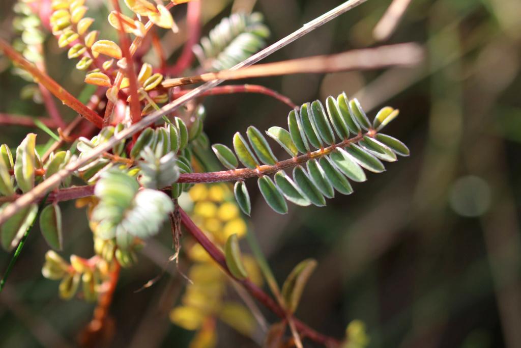 Onobrychis viciifolia ? Origin44
