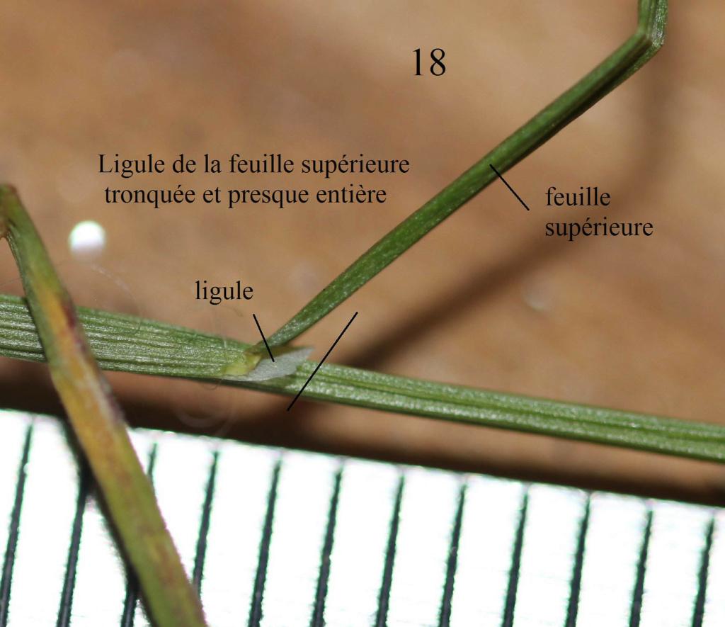 [Poa pratensis] Poa x figertii (= Poa nemoralis var. loiseaui) ? Origin55