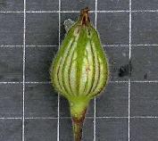 [Silene latifolia] Silene baccifera ? Rainur10