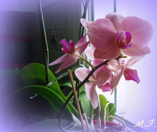 Album de Monette - Page 3 Orchid10