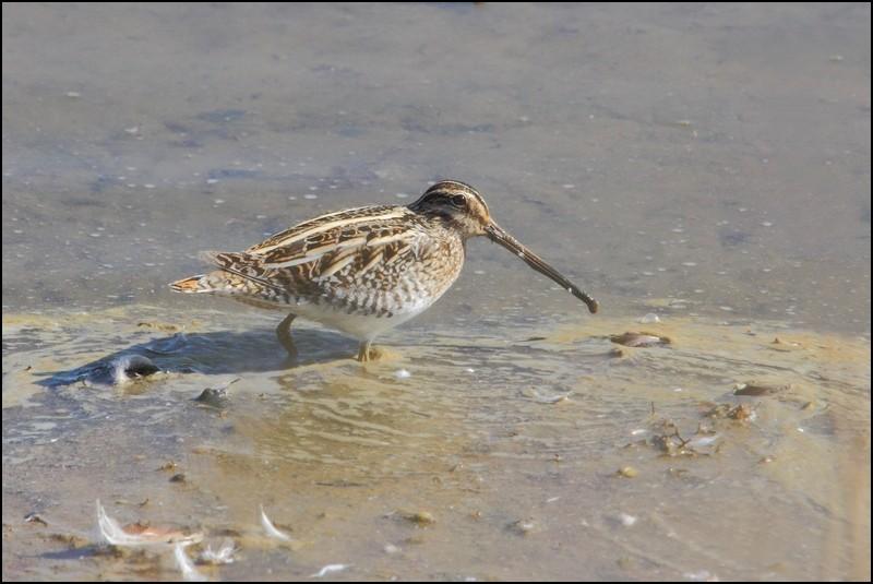 Parc ornitho du Teich (le 10 mars 2013) Bacass10