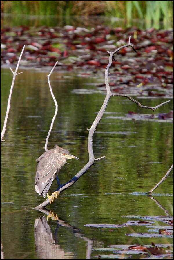 Réserve ornitho du Teich (le 13 avril 2013) Img_5912