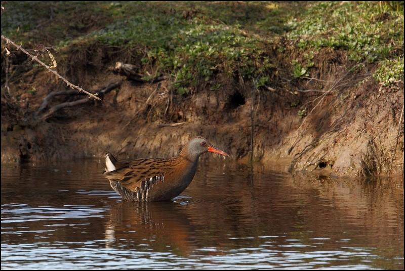 Parc ornitho du Teich (le 10 mars 2013) Rale_d10