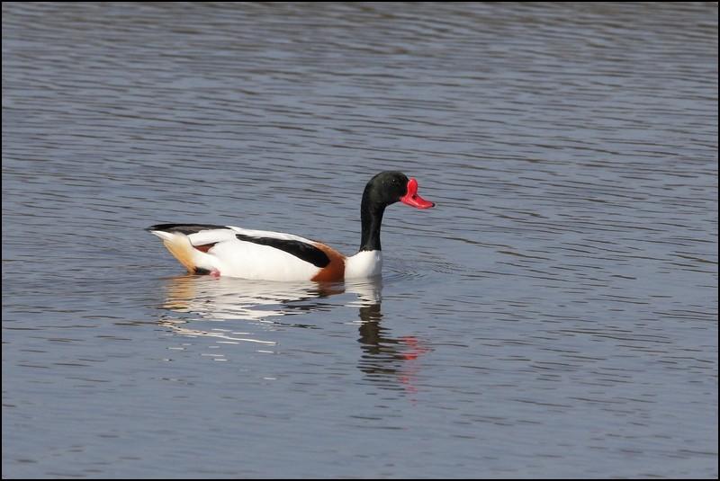 Parc ornitho du Teich (le 10 mars 2013) Tadorn10
