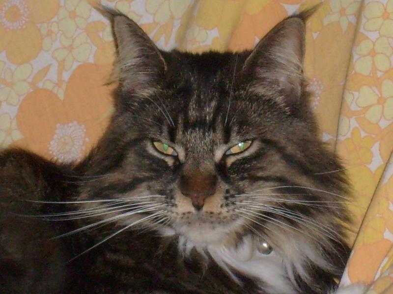 Sondage:votre race de chat préférée 30090810