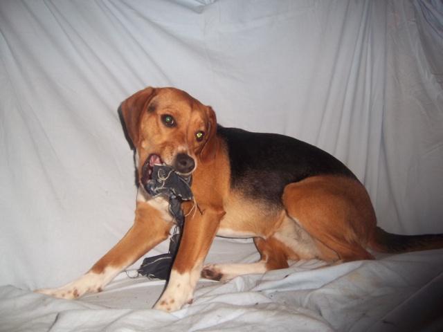 LOVE, beagle femelle, 2 ans (Belgique) Gipsy_19