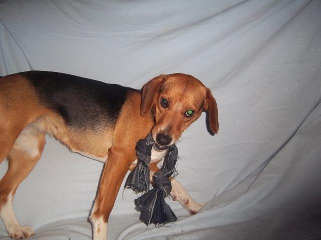 LOVE, beagle femelle, 2 ans (Belgique) Gipsy_20