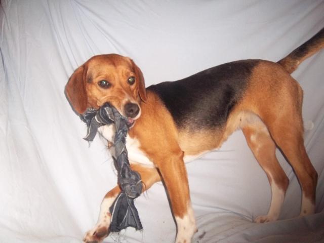 LOVE, beagle femelle, 2 ans (Belgique) Gipsy_23