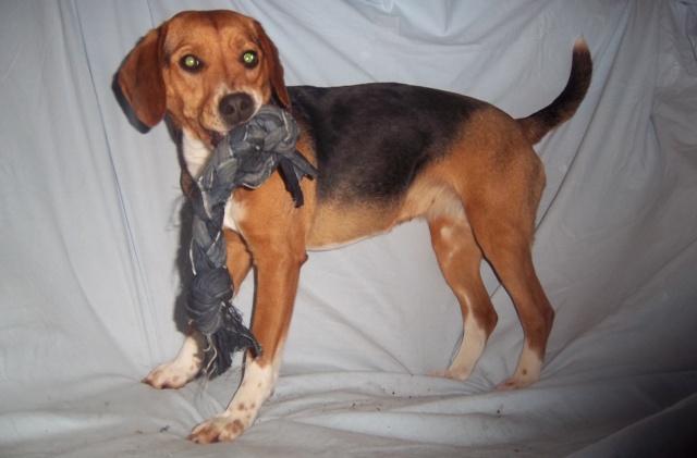 LOVE, beagle femelle, 2 ans (Belgique) Love_410