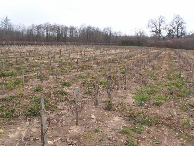 Le vignoble Charentais Pict0052