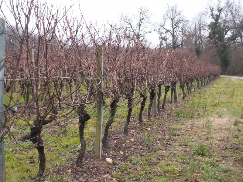 Le vignoble Charentais Pict0053