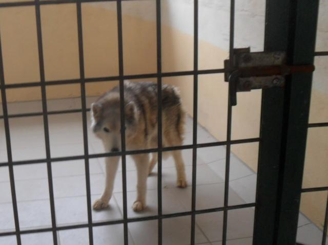 urgence pour un vieux husky de 14 ans  Sam_9610