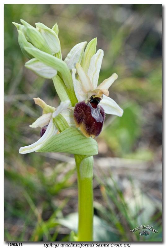 Ophrys exaltata arachnitiformis ( O. en forme d'araignée ) 27_mg_11