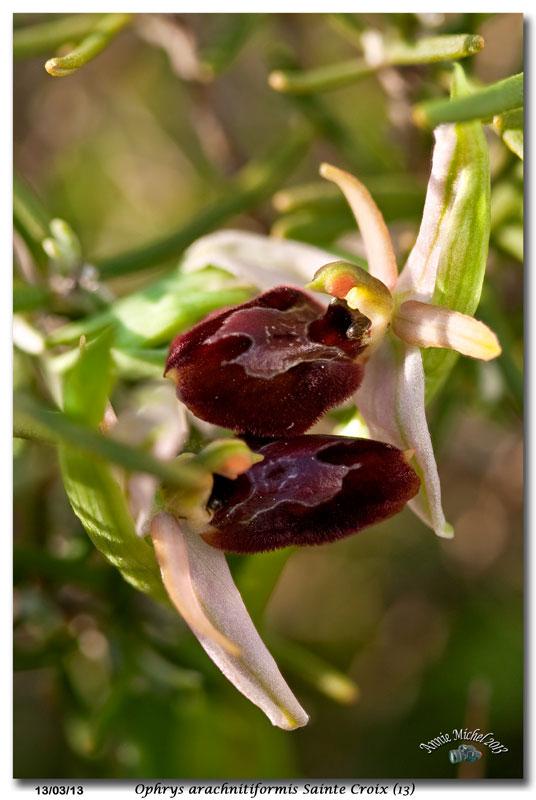 Ophrys exaltata arachnitiformis ( O. en forme d'araignée ) 33-com10