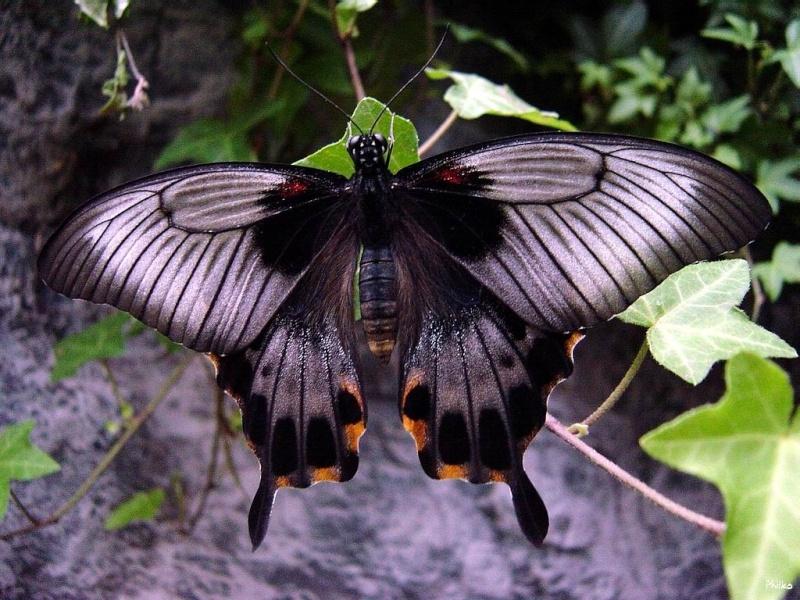 papillon Eetmy410