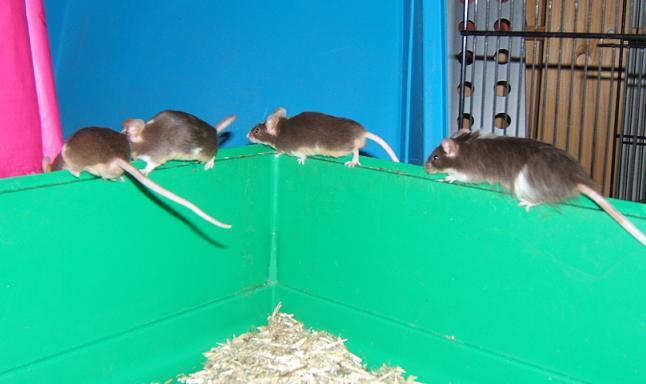 Plein de petites souris à l'adoption ! Males_10