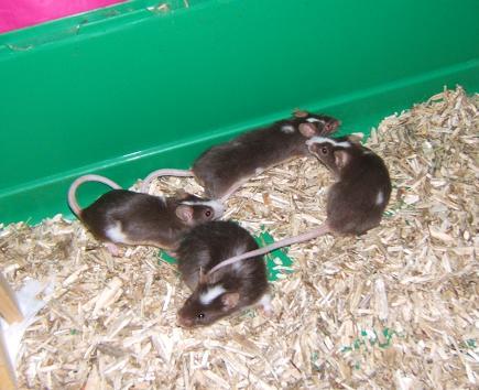 Plein de petites souris à l'adoption ! Males_11
