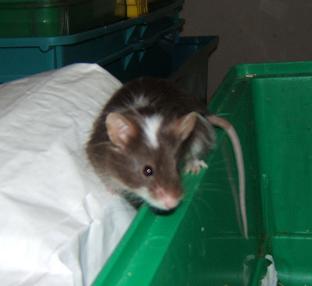 Plein de petites souris à l'adoption ! Males_12