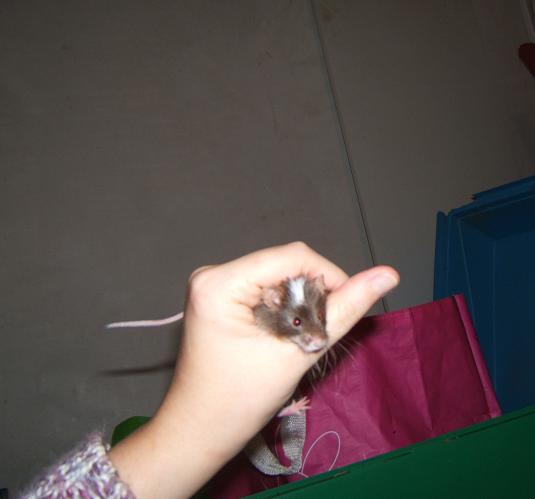 Plein de petites souris à l'adoption ! Males_13