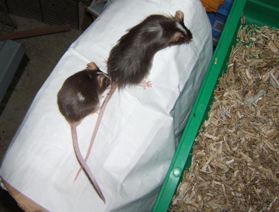Plein de petites souris à l'adoption ! Males_14