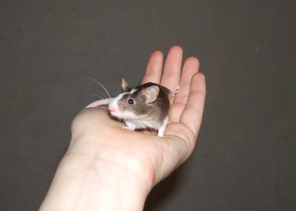 Plein de petites souris à l'adoption ! Males_17