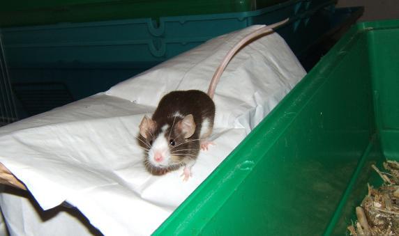 Plein de petites souris à l'adoption ! Males_18