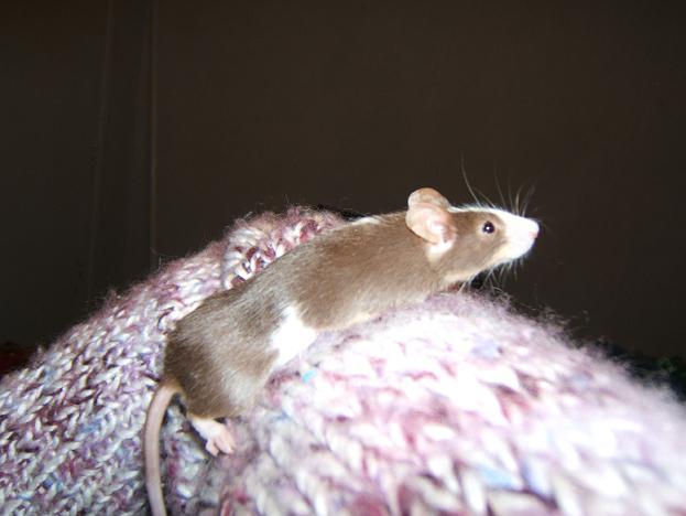 Plein de petites souris à l'adoption ! Males_19