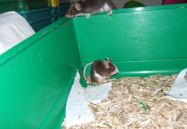 Plein de petites souris à l'adoption ! Males_20