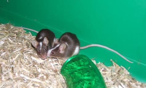 Plein de petites souris à l'adoption ! Males_21