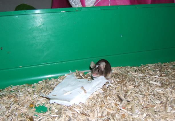 Plein de petites souris à l'adoption ! Males_23