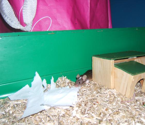 Plein de petites souris à l'adoption ! Males_24