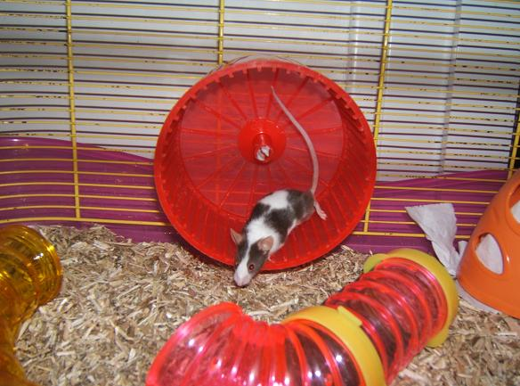 Plein de petites souris à l'adoption ! Males_27