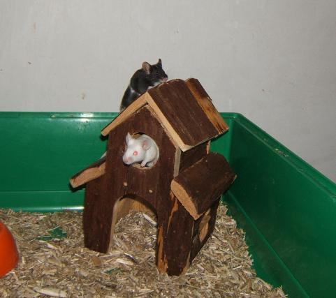 Plein de petites souris à l'adoption ! Males_28