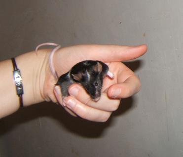 Plein de petites souris à l'adoption ! Males_30