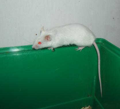 Plein de petites souris à l'adoption ! Males_31