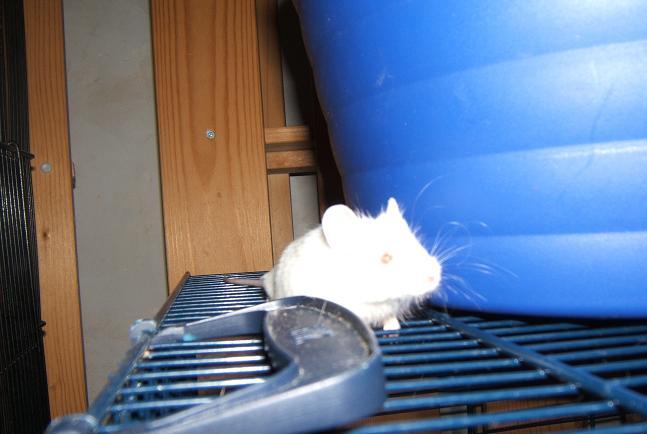 Plein de petites souris à l'adoption ! Males_33