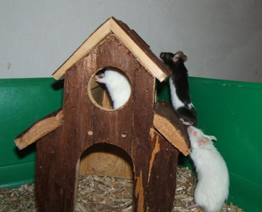 Plein de petites souris à l'adoption ! Males_34