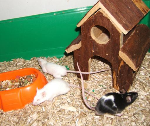Plein de petites souris à l'adoption ! Males_35