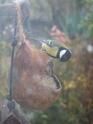 petits oiseaux du jardin 511_1510