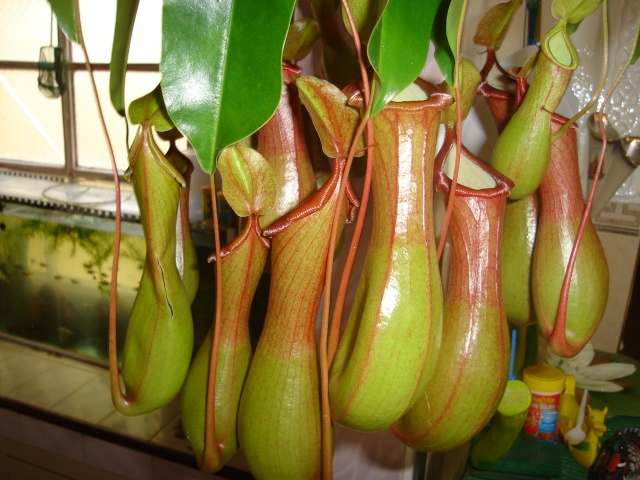 Nepenthes Alata Dsc00211