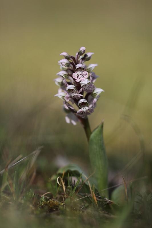 Neotinea lactea ( Orchis couleur de lait ) Img_3811