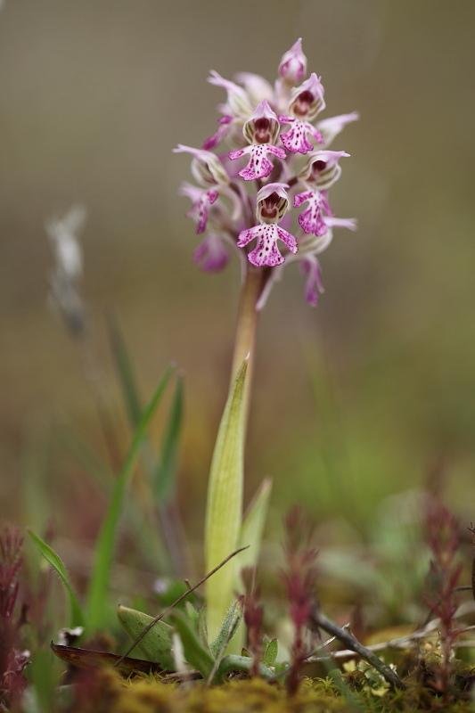 Neotinea lactea ( Orchis couleur de lait ) Img_3813