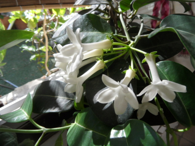 resolu  jasmin de madagascard  stephanotis 0082410