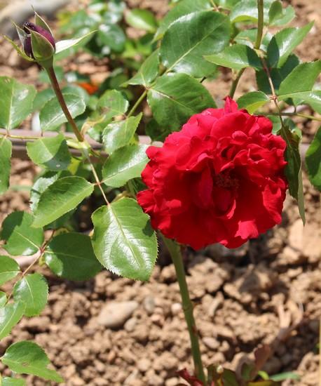 Rosa 'Jacques Prévert'! 01062024
