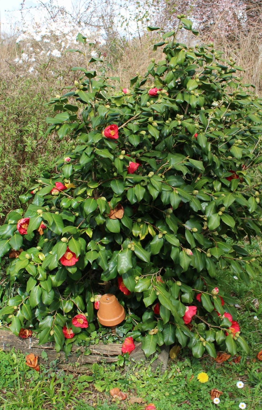Camellia !!! 02032015