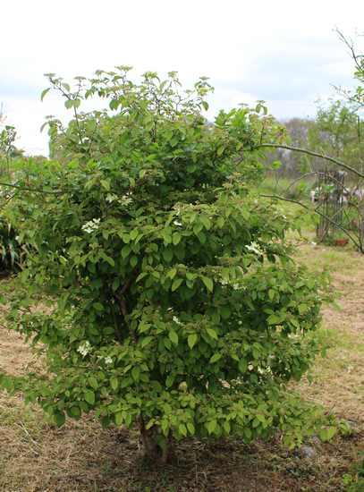 Viburnum plicatum 'Watanabe' !!! - Page 5 02042014