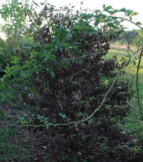 Viburnum plicatum 'Watanabe' !!! - Page 6 02082016