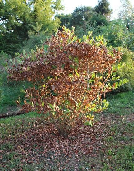 Magnolia stellata !!! 02082017