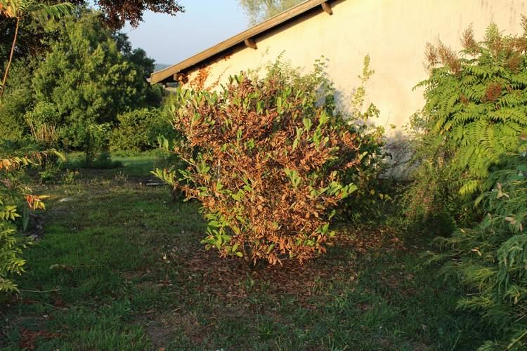 Magnolia stellata !!! 02082018