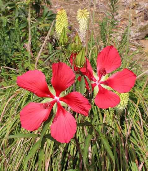 Une vivace.........Hibiscus coccineus !!! 02082032
